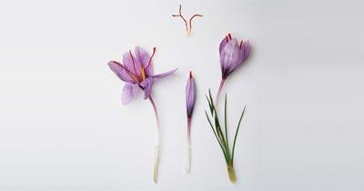 about-saffron